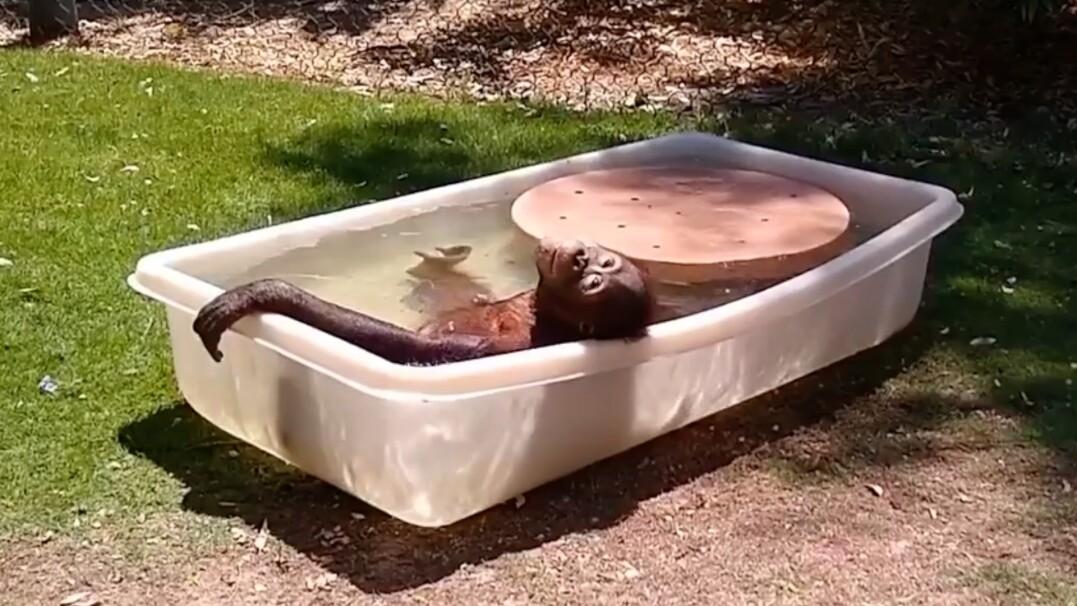 Na upał – kąpiel. Orangutanica relaksuje się w wanience