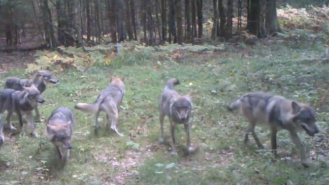 """Wilki w """"ukrytej kamerze"""". Duża wataha <br />w Białowieskim Parku Narodowym"""