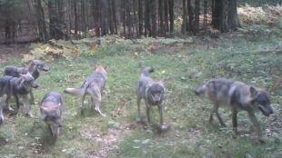 """Wilki w """"ukrytej kamerze"""". Duża wataha w Białowieskim Parku Narodowym"""