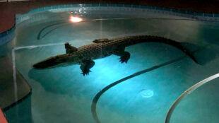 Prawie 3,5-metrowy aligator wylegiwał się w basenie
